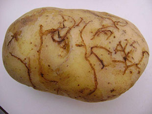 Potato tuber showing feeding damage by the larvae of the Epitrix flea beetle. © Conceição Boavida Instituto Nacional de Recursos Biológicos.