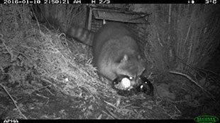 Raccoon capture