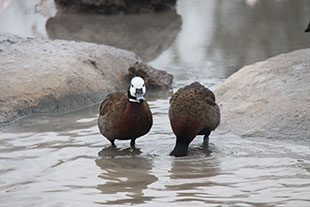 Image of 2 birds in water