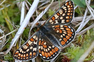 Image of an adult march fritillary butterfly