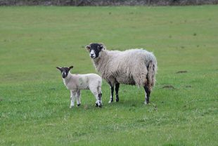 Image of a sheep and a lamb