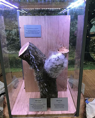 Fake Oak Processionary moth model in a glass case. Model shows an oak stump with a mass of white wool-looking substance with black objects within.