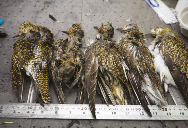 Carcases of golden plovers