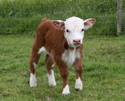 Image of a brown and white calf standing on grass looking at the camera.