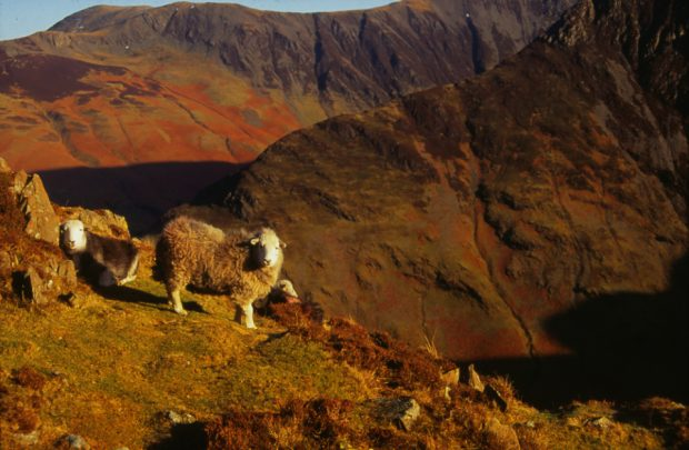 Image of sheep standing on a mountain-scape in the sun.