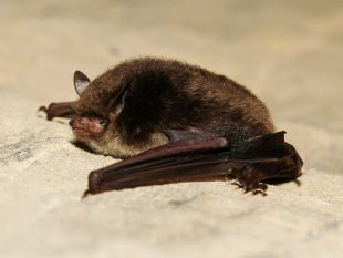 Image of a brown coloured bat.