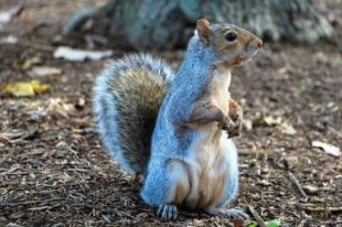 Image of a grey squirrel standing on its back legs looking to the right.