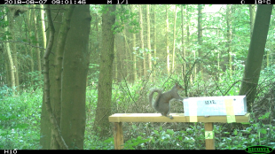 Image of a grey squirrel sitting on a wooden beam next to a box in a wooded area.