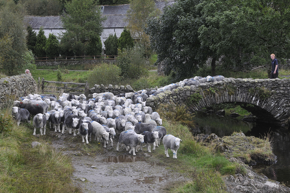 Countryside image of a heard of sheep being driven by a male farmer across a stone bridge.