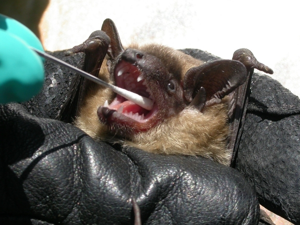 Bat being held in a black glove, having its mouth swabbed