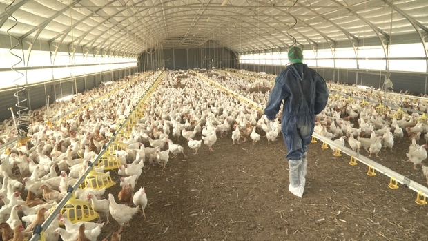 Image of a male wearing a blue protective suit walking in a barn full of chickens.