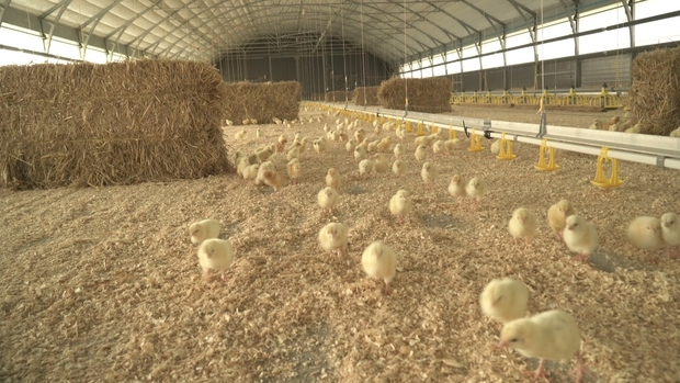 Image of chicks in a barn.