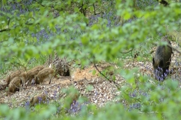 Image of four wild boar piglets with an adult wild boar in woodland.