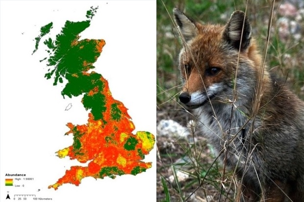 Image split in two halves. The left-hand side shows a map of Great Britain coloured in shades of green (mainly in the north), red (mainly in the south) and patches of yellow. The right-hand side shows an image of a fox sitting behind long strands of grass.