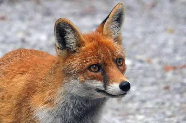 Image of a red fox