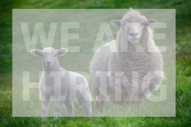 Image of a lamb standing next to a sheet, both looking at the camera with the text, 'We are hiring' over the top.