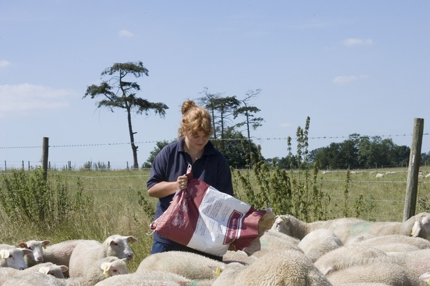 Image of a female farmer feeding a group of sheep in a field from a bag.