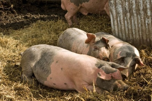 Image of four pigs in a pen of straw.