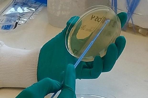 Image showing gloved hands swabbing an agar plate.