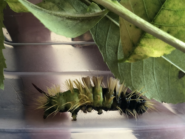 Image of a hairy caterpillar next t a leaf