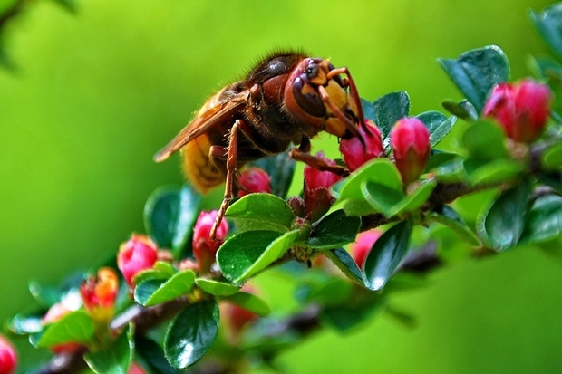 Image of a European hornet sitting on a branch.