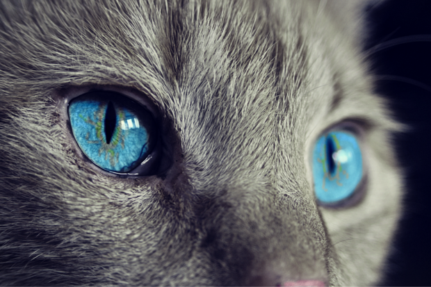 Close-up image of a grey cat's blue eyes