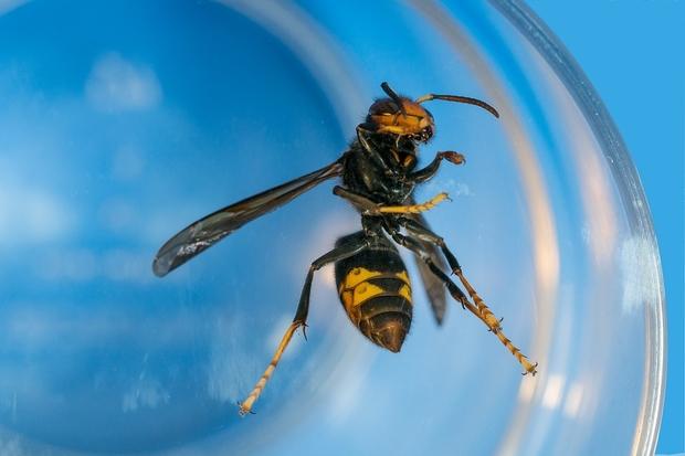 Image of an Asian hornet under glass
