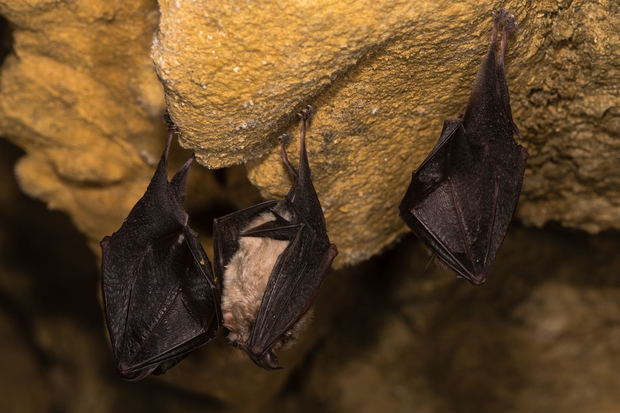 Image of two Horseshoe bats hanging upside down in a cave.