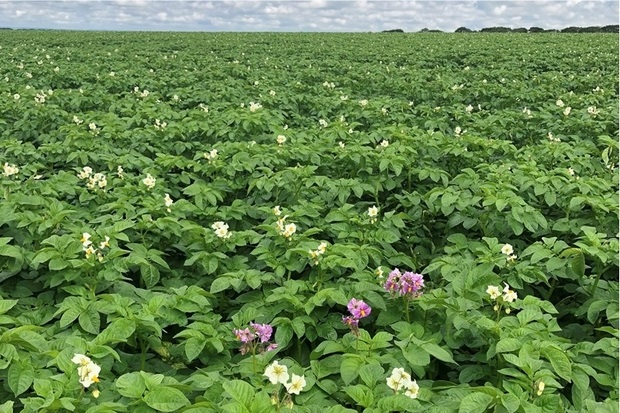 Image of a field full of potato plants with white flowers with a few flowers which are pink in colour
