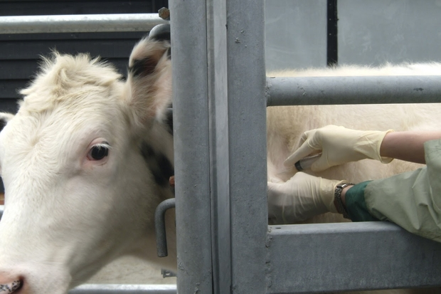 Image of a white cow in a cattle holder receiving a vaccination