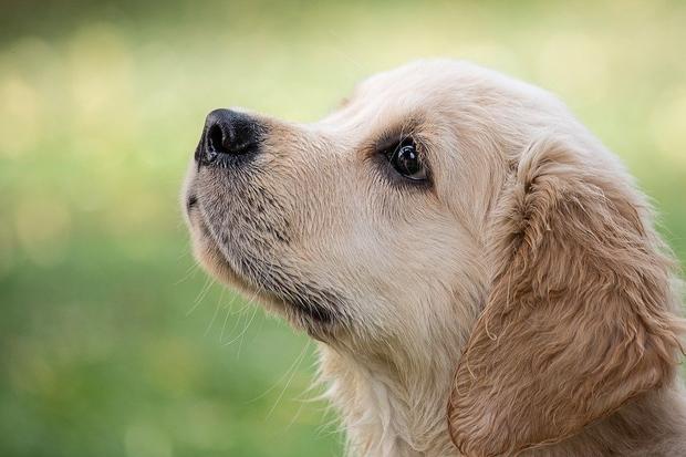 Image of a Golden Retriever puppy's head.