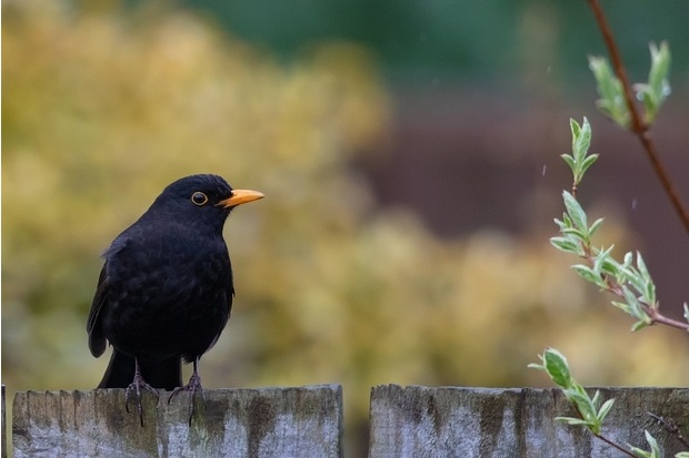 Image of a blackbird sitting on a fence