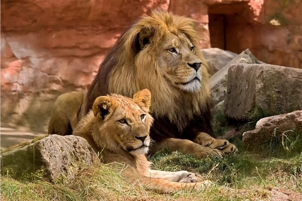Image of a male and female lion laying next to each other in a zoo setting