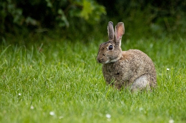 Image of a wild brown rabbit on grass