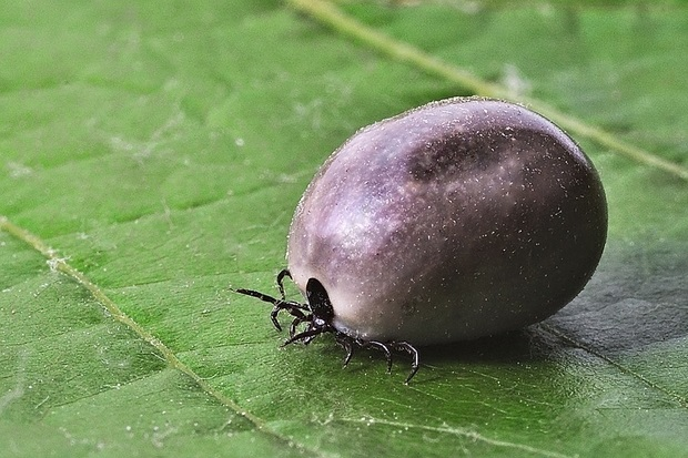 Image of an engorged tick on a leaf