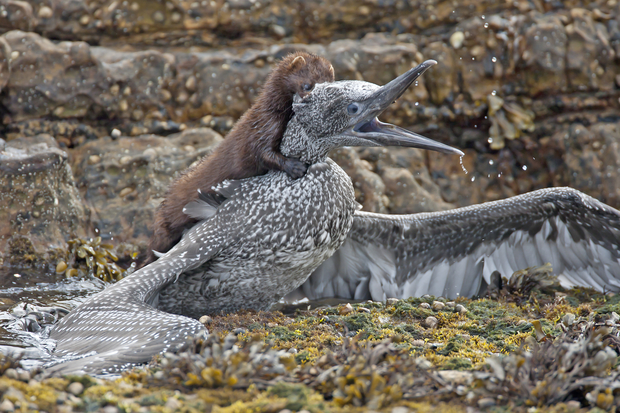 Image of an American mink attacking a gannet chick.