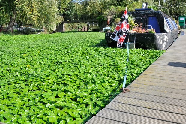 Image of floating pennywort in a canal with a houseboat floating in the middle of it.