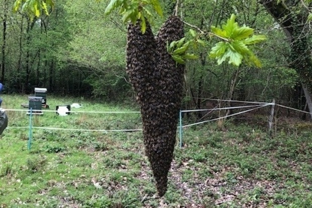 A swarm of honeybees hanging in a tree