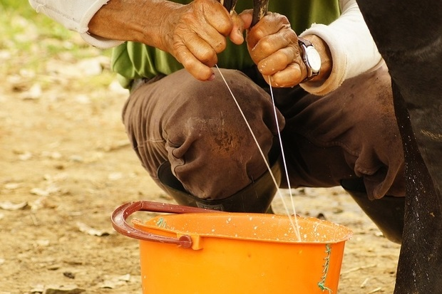 Image of a farmer hand milking a cow into an orange bucket